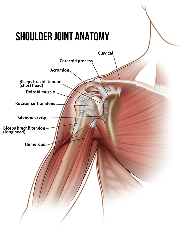 Shoulder Joint Anatomy