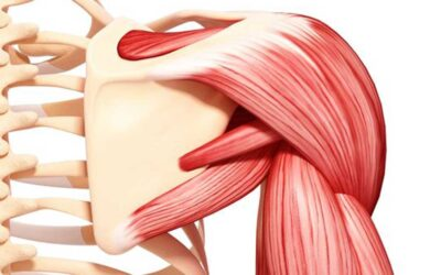 Deltoid Muscle Anatomy F