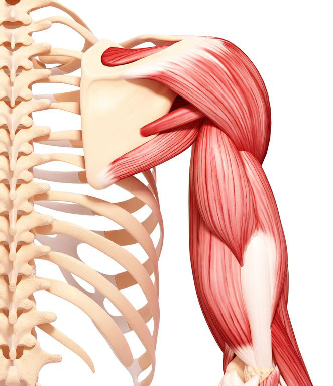 Deltoid Muscle Anatomy