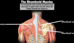 The Rhomboid Muscles F
